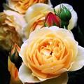 薔薇 最高の輝き
