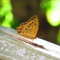 写真: 夏の思い出 キマダラヒカゲ