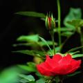 Photos: 赤いバラ1