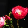 赤いバラ3