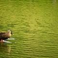 写真: 先日であった風景 鴨
