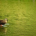 Photos: 先日であった風景 鴨