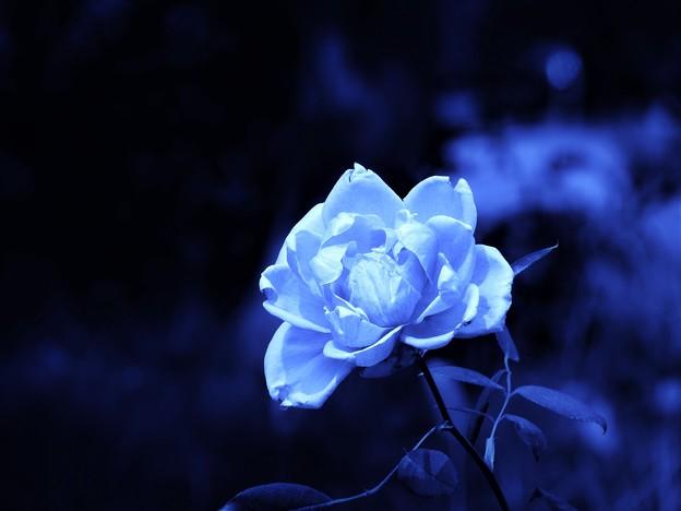 Photos: 青い薔薇