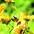 花の上の生き物たちセセリ蝶