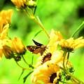 写真: 花の上の生き物たちセセリ蝶