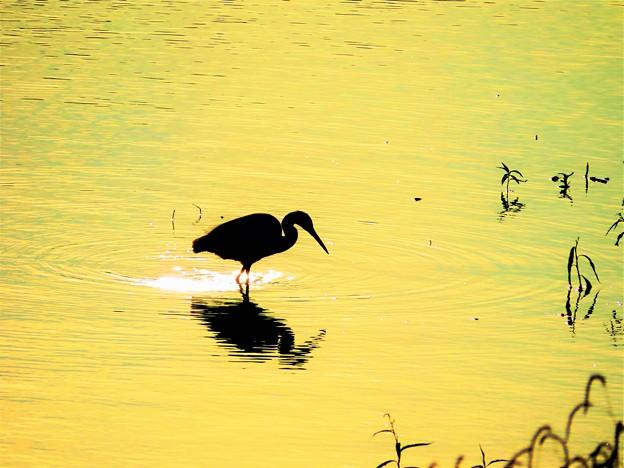 写真: 黄金色