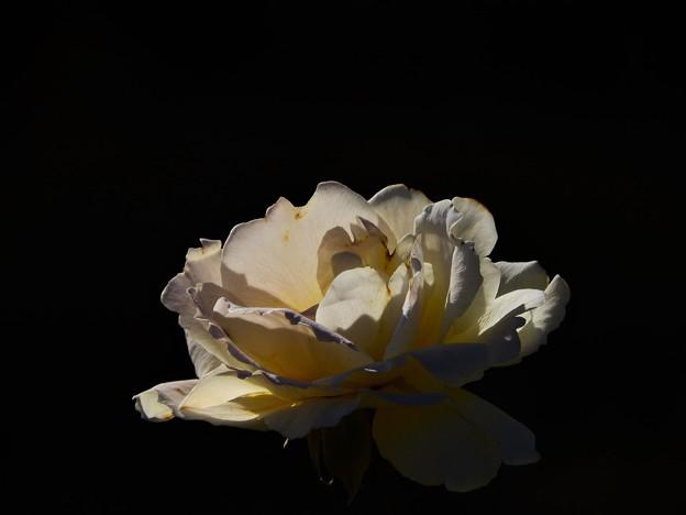 写真: 昨日観た花 白薔薇