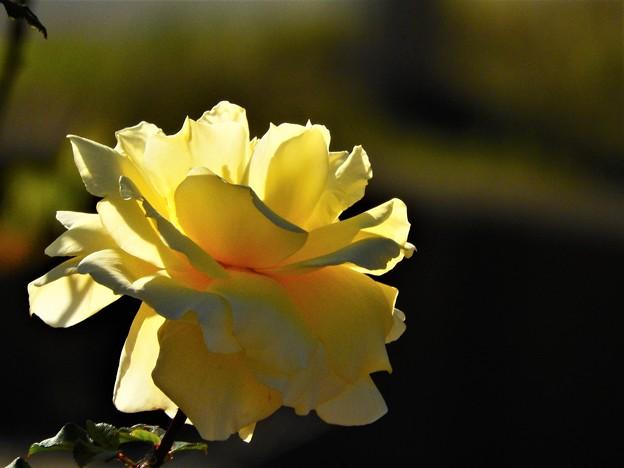 Photos: 12月に観た花 薔薇黄色2