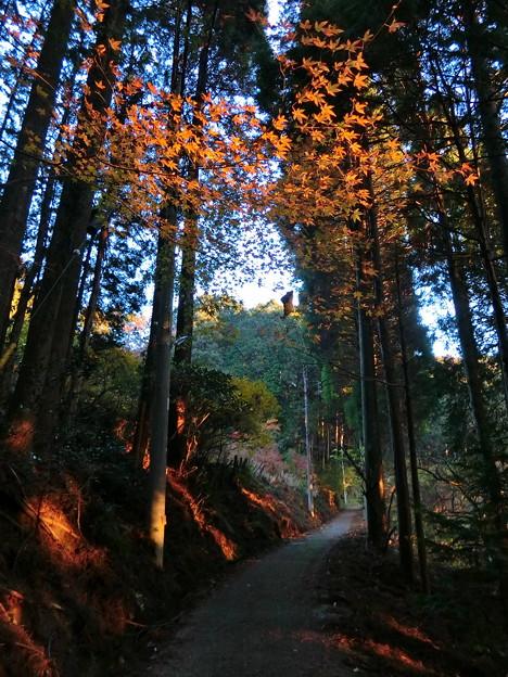 早朝ハイキング(10) 杉木立から朝日