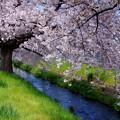 桜咲く-1