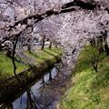 桜咲く-2