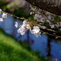 桜咲く-3