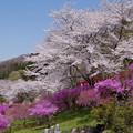 写真: 櫻と競演♪