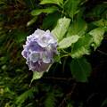 写真: 秩父路の紫陽花