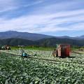 写真: キャベツ畑