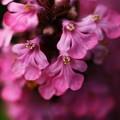 写真: アジュガ~~小さな花 珍しい色
