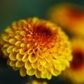 写真: 菊よ