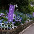稲沢あじさい寺 (1)
