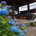 稲沢あじさい寺 (2)