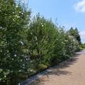 ムクゲ品種園 (2)