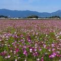 東員町コスモス畑 (4)