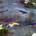 写真: モネの池 (9)