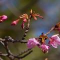 極楽寺公園:河津桜 (2)