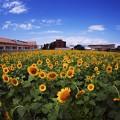 写真: ヒマワリ畑