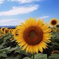 写真: 夏向日葵