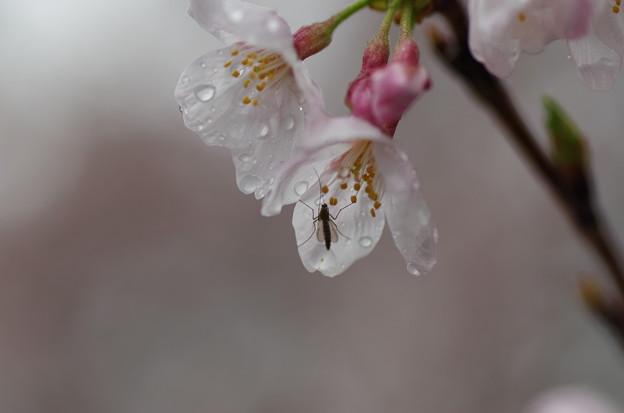 写真: 松戸の桜 (4)