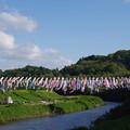 写真: 小櫃川中川橋の鯉のぼり