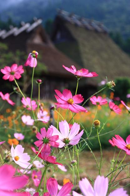 秋桜と萱葺き