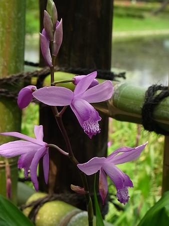 竹垣のシラン