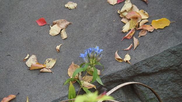 落ち葉と竜胆