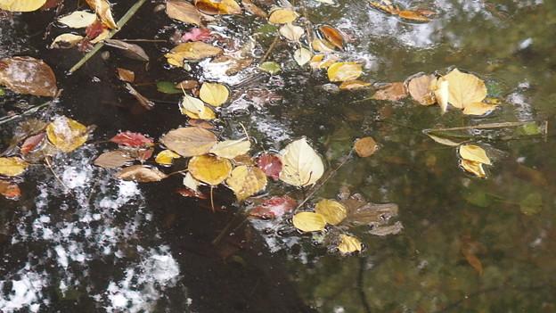 池に浮かぶ落ち葉