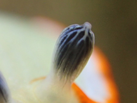 にょきっ!ハナオトメウミウシの触覚