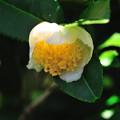 写真: お茶の花-2