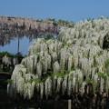 写真: 藤の花―白