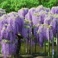 藤の花―紫