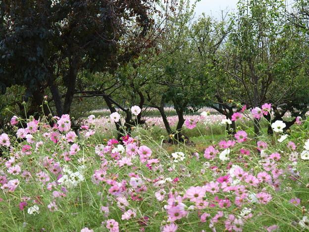 写真: 秋桜の花畑