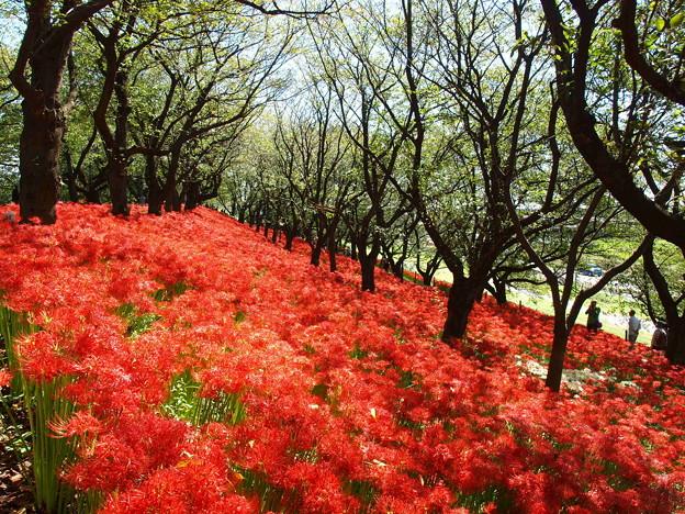 写真: 彼岸花のバージンロード