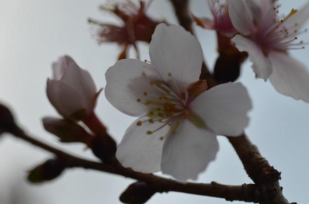 Photos: 冬桜ー2