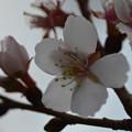 写真: 冬桜ー2