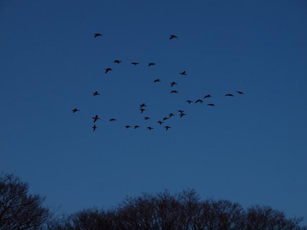 写真: 鴨の帰宅
