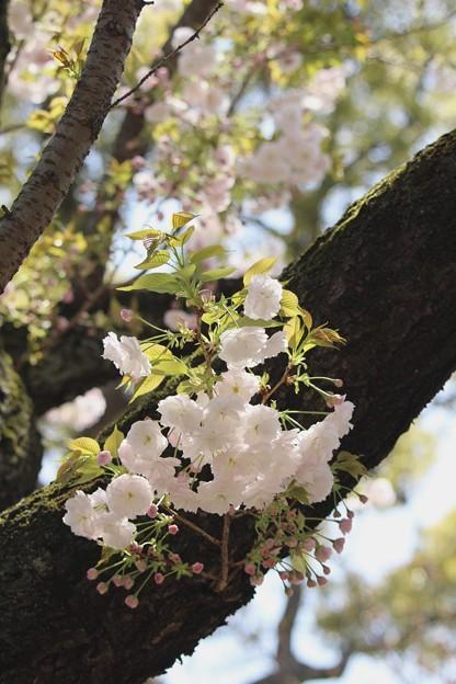 造幣局の桜3~♪
