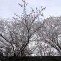 Photos: こんな桜の木です~♪