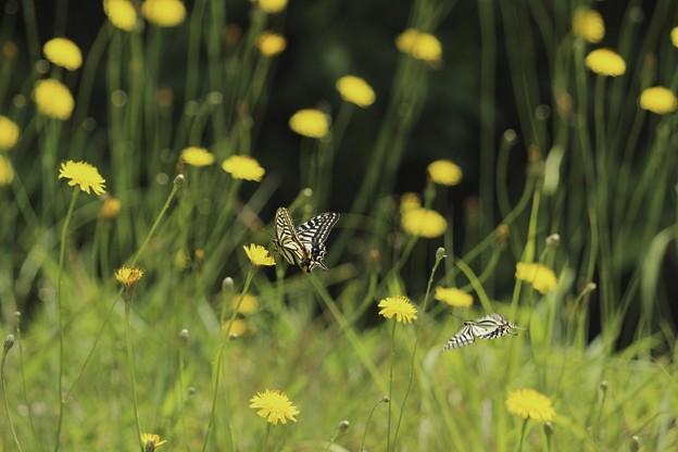 舞う蝶々たち~♪