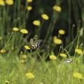 Photos: 舞う蝶々たち~♪
