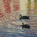 写真: カルガモさん~泳ぐ~♪