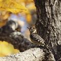 写真: 黄葉を眺めるコゲラ~♪
